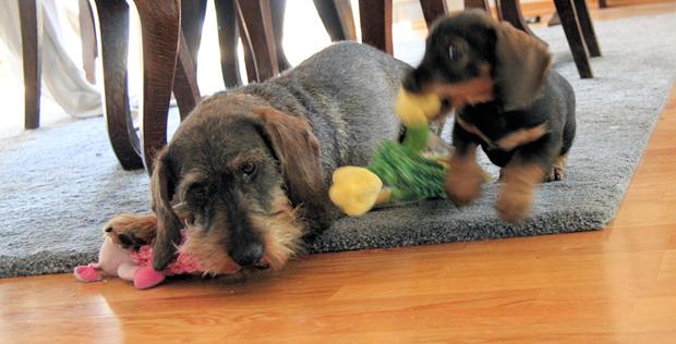 To hunder. Duracell-hunden til høyre.
